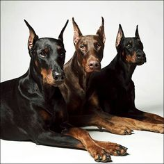 The Doberman Pinscher is among the most popular breed of dogs in the world. Known for its intelligence and loyalty, the Pinscher is both a police- favorite bree Doberman Noir, Black Doberman, Doberman Pinscher Dog, Doberman Puppies, Little Dogs, Big Dogs, I Love Dogs, Cute Dogs, Dogs And Puppies
