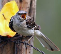 Northern Mockingbird ( Mimus Polyglottos ) by gary1844, via Flickr    San Antonio Botanical Gardens