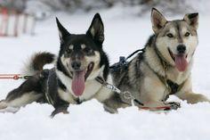 Huskies in winter, Rovaniemi, Lapland, Finland