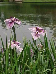 Iris ensata to x to Full sun to part shade. Medium to wet soil. Pond Plants, Garden Plants, Iris Flowers, Purple Flowers, Rabbit Resistant Plants, Japanese Iris, On Golden Pond, Woodland Flowers, Iris Garden