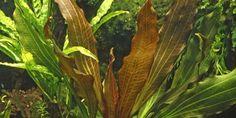 Echinodorus 'Rubin' - Tropica Aquarium Plants