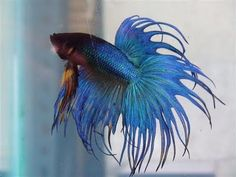 yes I have a pet at work .... I love Bettas .... Blue Bettas .... Great Listener he is
