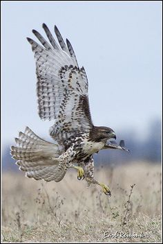 ☀Red Tailed Hawk by Earl Reinink   ...........click here to find out more     http://googydog.com