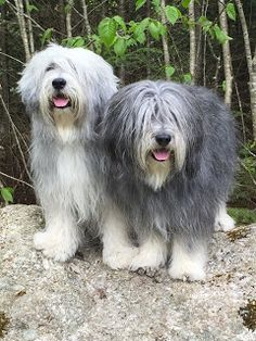 Wit and Wisdom Polish Lowland Sheepdogs