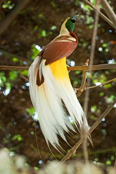 Cendrawasih/Raggiana Bird of Paradise (Paradisaea raggiana), the national bird of New Guinea by toni panjaitan. They are endangered due to hunting for their feathers and black market exports as pets.