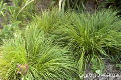 Carex Montana