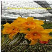 Site to sell your orchid plants Orchid Plants, Orchids, Cattleya Orchid, Amazing Flowers, Things To Sell, Photos, Orchid