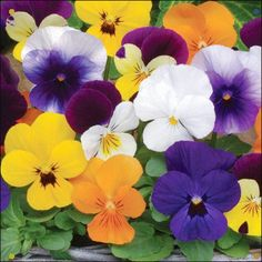 Viola Sorbet Is A Modern Variety That Becomes Smothered In 1 Inch Blooms On Compact Plants This Weather Tolerant Mixture Contains A Huge Range Of Growing Flowers, Planting Flowers, Easiest Flowers To Grow, All About Plants, Winter Plants, Hardy Perennials, Growing Seeds, Pansies, Violas Flowers