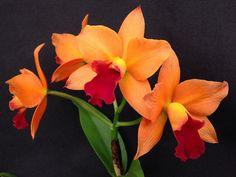 Rhyncattleanthe Little Fortune 'Fiery' (Cattlianthe Loog Tone x Rhyncattleanthe Haw Yuan Glory) | by Orchids by Hausermann