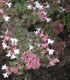Rose Creek Abelia - Monrovia - Rose Creek Abelia. Dad gave me