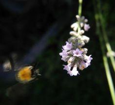 echter-lavendel-bluete-hell-lila_lavandula-angustifolia05