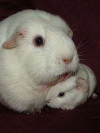 Guinea pig parent and one baby