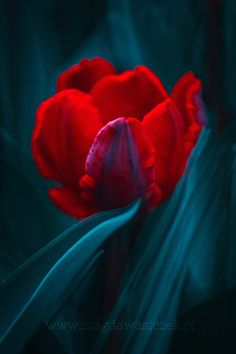 Red Lantern by Magda Wasiczek Red And Teal, Red Turquoise, Red Tulips, Red Flowers, Exotic Flowers, Flowers Nature, Beautiful Flowers, Glass Photography, Reflection Photography