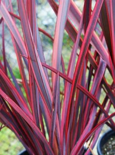 New Zealand Flax: Guardsman Colorful Garden, Tropical Garden, Pink Garden, Tropical Plants, Landscaping Plants, Garden Plants, Back Gardens, Outdoor Gardens, New Zealand Flax