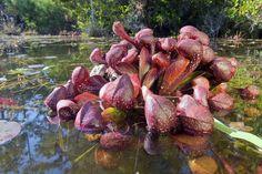 #Sarracenia psittacina var. okeefenokeensis, Parrot Pitcher Plant, Fall line…