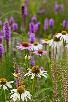 A wildflower meadow of pink and white coneflowers and purple liatris.