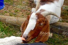 A Boer Goats sniffs the hand of a baby. Agriculture Photos, Boer Goats, Image Now, Royalty Free Stock Photos, African, Animals, Animales, Animaux, Animal