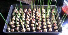 Growing vegetables and fruits in the home garden is rewarding, but many people are put off by the backbreaking work involved at the start of the growing seas.Stop buying garlic at the store. Here's how to grow garlic right at homeStop buying garlic Indoor Garden, Garden Plants, Outdoor Gardens, Garden Soil, Balcony Garden, Garden Bed, Growing Herbs, Growing Vegetables, Regrow Vegetables