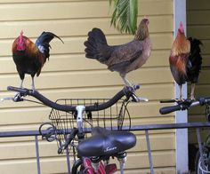2 Mainstays~Roosters and Bicycles @ Key West,Fl