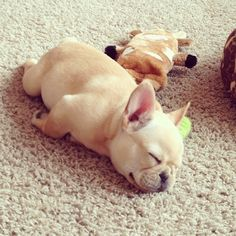 Most adorable sleeping French Bulldog. I must have one now.