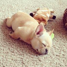 adorable sleeping French Bulldog