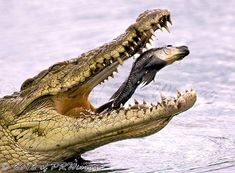 CROCODILE nabbing his prey. A hungry croc attacks anything that crosses its path and eat animals whole. With a small stomach, they keep prey in their stomach for weeks. Animals And Pets, Baby Animals, Funny Animals, Cute Animals, Amazing Animal Pictures, Funny Animal Pictures, Wildlife Photography, Animal Photography, Nile Crocodile