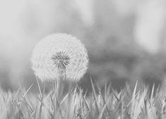 dandelion gif