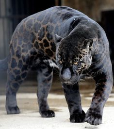 Rare Black Jaguar- The SassenaSh Rare Animals, Unique Animals, Cutest Animals, Black Jaguar Animal, Jaguar Leopard, Black Animals, Beautiful Cats, Spirit Animal, Big Cats