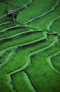 rice fields of bali