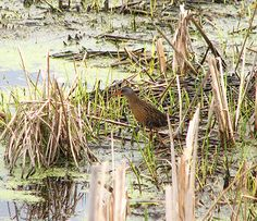 This Virginia Rail was seen on the boardwalk at Spring Valley Wildlife Area north of Waynesville Ohio.