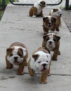 English bulldog puppy stampede I love the one sitting down in the background.