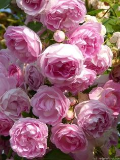 Jasmina ~ Climbing Rose …