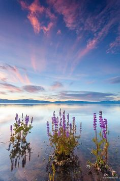 "Photo Of The Day: ""Tahoe Lupine at Sunrise 4"" by Scott Thompson (Scott Shots Photography). Location: Lake Forest Beach, Lake Tahoe, CA.   Submit photos of your favorite places to our online gallery: http://www.outdoorphotographer.com/galleries/ #camping #hiking #outdoors #travel #nature"