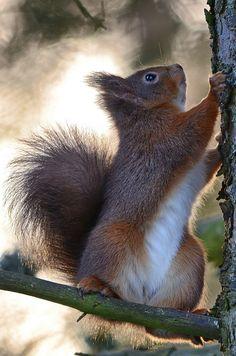 """faerieforests: """" Red Squirrel by Len Watson """""""