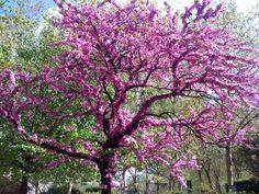 Un savonnier de Chine, un arbre de Judée, et un ginkgo biloba,celui dont vous avez déjà suivi l'évolution dans ce blog.Trois façons de se...