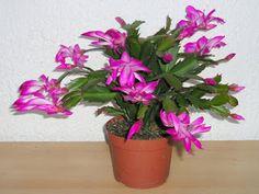El Huerto en Macetas: Plantas: El Cactus de Navidad