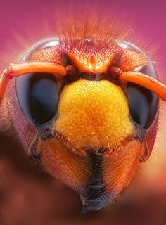Amazing insect photography by Leon Baas of the Netherlands Macro Fotografie, Fotografia Macro, Micro Photography, Insect Photography, Bee Wasp Hornet, Cool Bugs, Macro And Micro, Beautiful Bugs, Beautiful Images