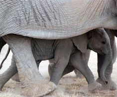 "lalulutres: "" baby elephant looks so happy """