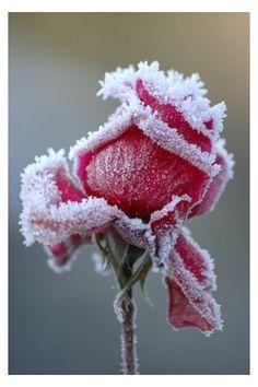 A single frosty rose.