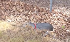 Patagonian Mara | 23 Dumb Animals That I Can't Believe Are Really Real