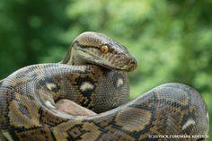 Python slinks past C Java and C to top IEEE 2017 language list