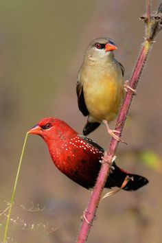 Tigrispinty / Red avadavat, red munia or strawberry finch (Amandava amandava)