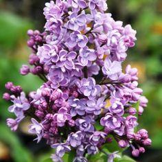 Flieder Syringa hyacinthiflora 'Drushba' - Flieder-Premium Fliedertraum