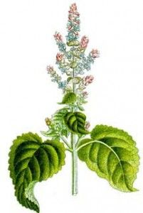 ** Uses for Clary Sage - Hormones, Hair Loss, Insomnia