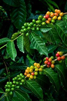 coffee tree - Google 검색