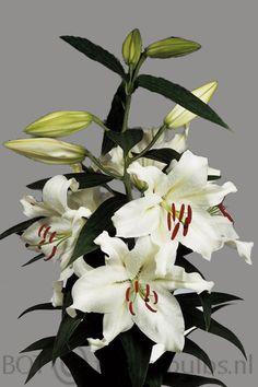 Name: Rousillon #bot #flowerbulbs #lilium #flower #bulbs #bulbos #bulbosas #lirio #lirios #variedades #bubos #holanda #bloembollen #bloemen #bollen #bulbs #exporter #exporteur #floriculture #flowers #gladioli #gladiool #horticulture #iris #lelie #lily #preparation #prepareren #irissen #Andijk #collection #keurmerk #oriental #asiatic #la #ot #holland