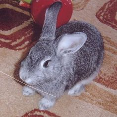 A docile and gentle breed with very soft, silky hair and popular as pets, small to medium sized