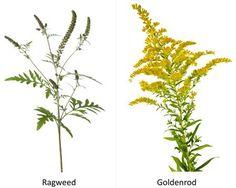 ragweed and goldenrod plants