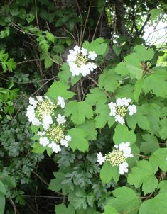 A hedgerow at our allotments - not a native, but looking lovely.