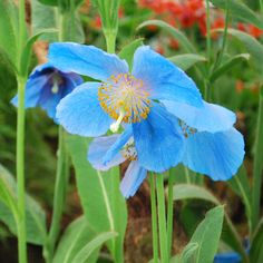 What amazing flowers this Meconopsis has, stunning, vivid blue flowers on a stand in the floral pavillion at #RHSChelsea Flower Show.